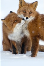Preview iPhone wallpaper Two foxes, snow