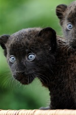 Preview iPhone wallpaper Two young black jaguars