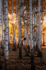Preview iPhone wallpaper Ural, Russia, birch forest, autumn