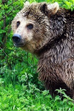 Preview iPhone wallpaper Wet bear look back, bushes, green