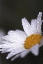 Preview iPhone wallpaper White daisy, water drops