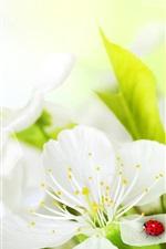 White flowers, ladybug, insect