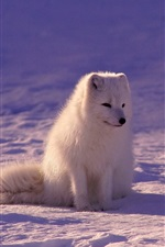 Preview iPhone wallpaper White fox at night, snow