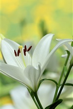 Preview iPhone wallpaper White lily, flowers photography