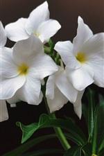 미리보기 iPhone 배경 화면 흰색 plumeria, 녹색 잎