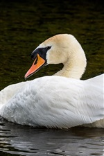 Preview iPhone wallpaper White swan in the pond