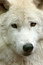 Preview iPhone wallpaper White wolf front view, face