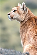 Preview iPhone wallpaper Wildlife, puma look at side