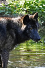 Lobo na água, riacho, olhar