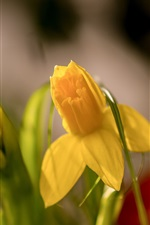 Preview iPhone wallpaper Yellow daffodils, macro photography, spring
