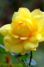 Preview iPhone wallpaper Yellow rose close-up, petals, flower