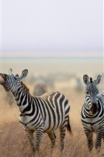 Preview iPhone wallpaper Zebra, animals, grass