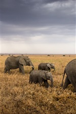 Preview iPhone wallpaper Africa, Tanzania, Serengeti National Park, grass, elephants