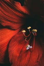 Amaryllis, red flowers, black background