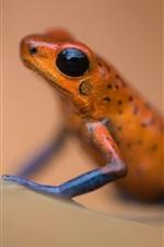 Amphibian, frog macro photography