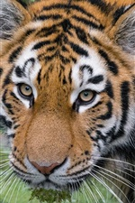 Preview iPhone wallpaper Amur tiger, look, face, eyes