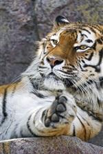 iPhone обои Амурский тигр, отдых, лапа, зоопарк
