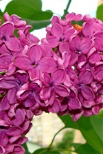 Beautiful lilac flowers, purple