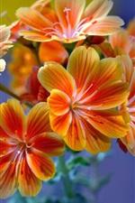 Preview iPhone wallpaper Beautiful orange flowers, inflorescence, petals