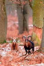 Preview iPhone wallpaper Bighorn sheep, forest