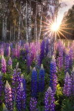 Preview iPhone wallpaper Birch grove, lupine flowers, sun rays