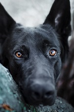 Preview iPhone wallpaper Black dog look, face, brown eyes