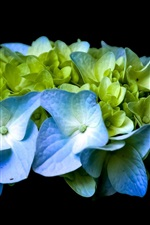 Preview iPhone wallpaper Blue and green hydrangea, black background
