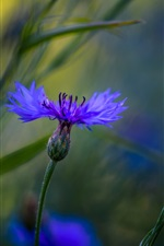 Preview iPhone wallpaper Blue cornflowers macro photography