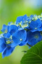 Blue hydrangea flowers, green background