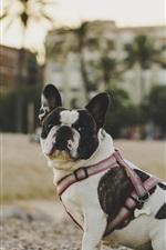 Preview iPhone wallpaper Bulldog look back, sand