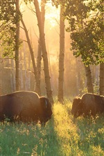 Preview iPhone wallpaper Canada, forest, trees, buffalo, grass, sunshine