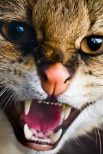 Preview iPhone wallpaper Cat angry