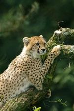 Preview iPhone wallpaper Cheetah climbing tree, moss