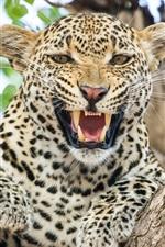 Preview iPhone wallpaper Cheetah, front view, roar, teeth