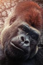 Preview iPhone wallpaper Chimpanzee, monkey