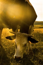 Preview iPhone wallpaper Cow eat grass, morning
