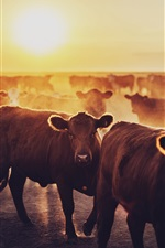 Preview iPhone wallpaper Cows, dawn, sunrise