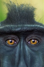 Preview iPhone wallpaper Crested baboon, face, eyes, Sulawesi, Indonesia