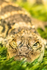 Preview iPhone wallpaper Crocodile rest in grass