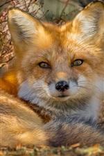 Cute fox rest, look back