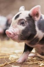 Preview iPhone wallpaper Cute little pig, look, pet