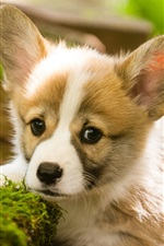 Preview iPhone wallpaper Cute puppy, moss