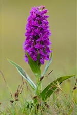 Preview iPhone wallpaper Dactylorhiza, orchid, purple flowers