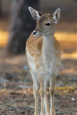 Deer, bokeh, forest