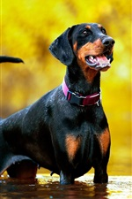 Preview iPhone wallpaper Doberman dog stand in water