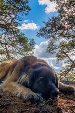 Preview iPhone wallpaper Dog rest, trees, sunshine