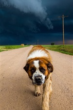 Preview iPhone wallpaper Dog walk in the road, clouds, storm