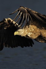 Preview iPhone wallpaper Eagle hunting fish, water splash