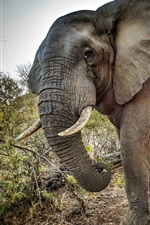 Preview iPhone wallpaper Elephant, tusks, trees, Africa