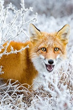 Preview iPhone wallpaper Fox look back, snow, bushes